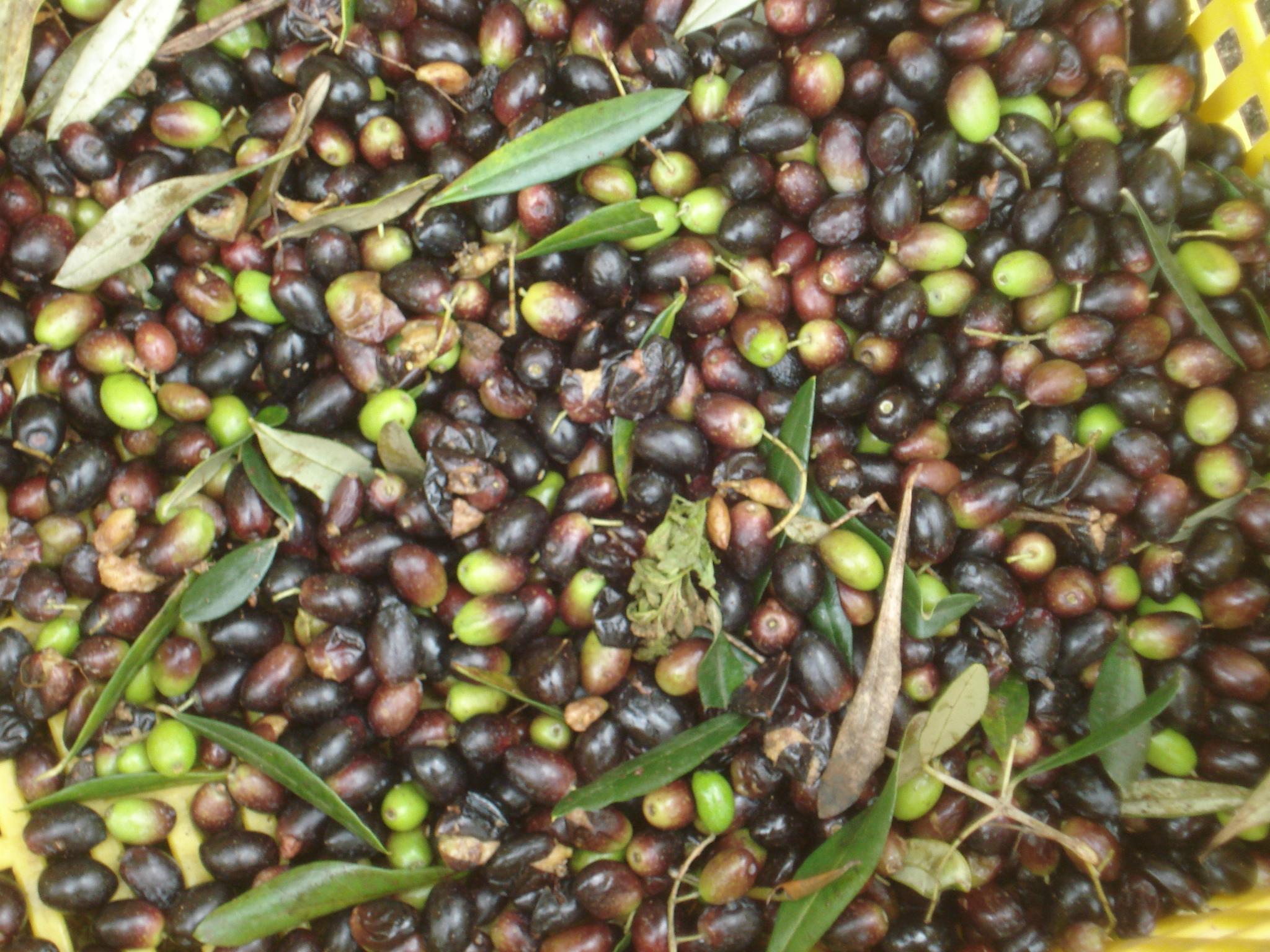 Raccolta delle olive a Ostuni