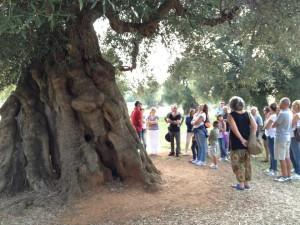 Ulivi secolari Masseria Brancati Ph Igersvalleditria