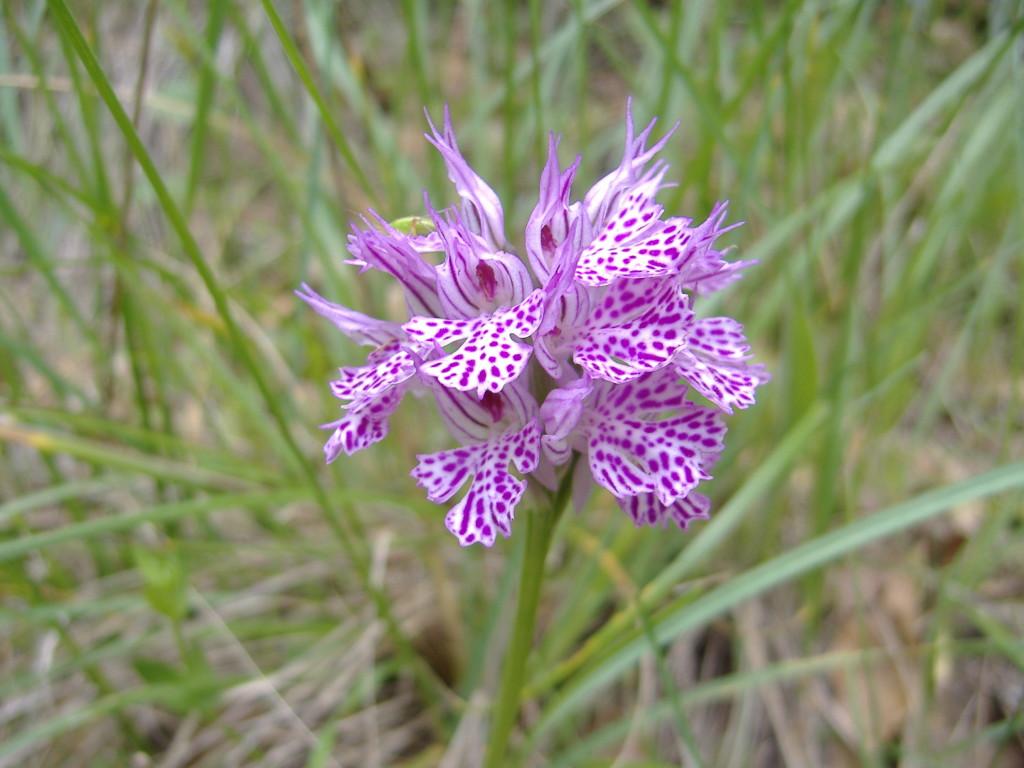 Neotinea tridentata orchidea